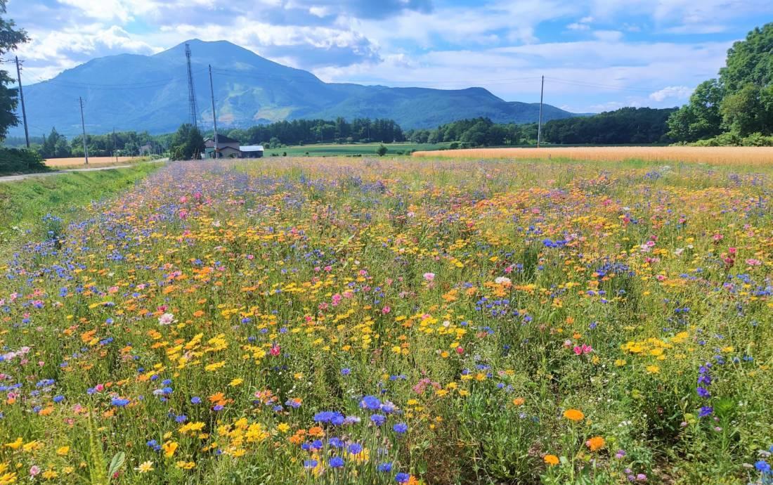 A wildflower field in Niseko